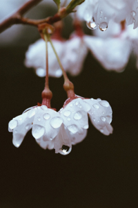 Water Drops Living in Flowers for blackberry Screenshot